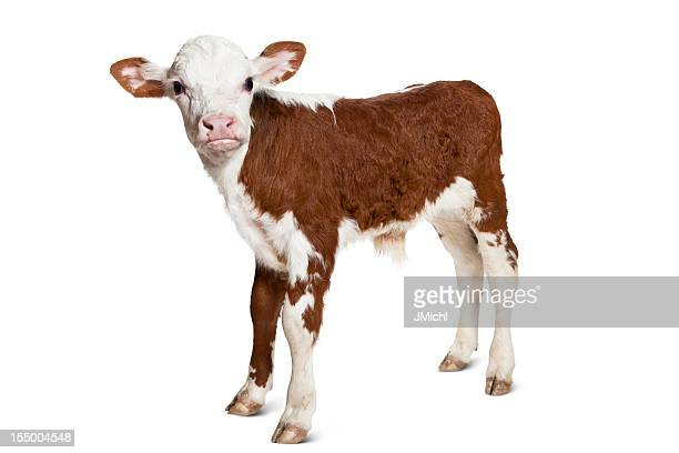 Hereford Calf on White Background Looking at Camera.