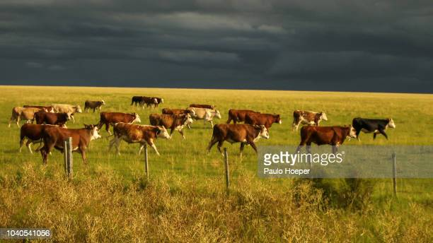 hereford cattle - uruguay stock pictures, royalty-free photos & images