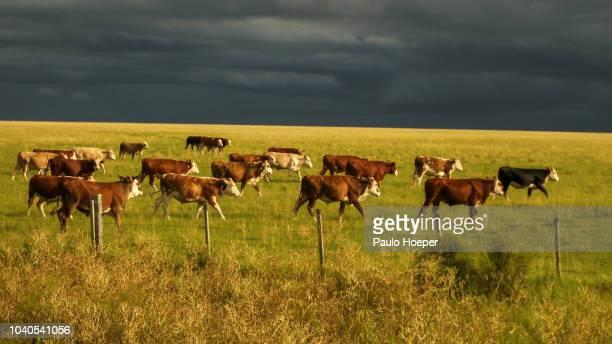 hereford cattle - ウルグアイ ストックフォトと画像