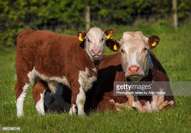 Hereford cow and bull calf