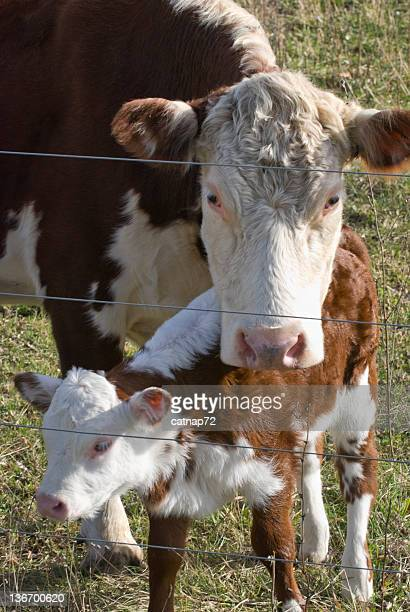 Hereford Cow and Calf Close Up