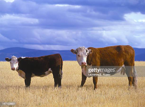 Hereford cow and calf in wheat stubble, Montana