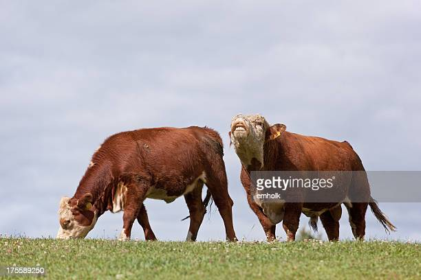 Hereford Cow & Bull