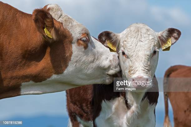 Hereford cow licking calf. Cumbria, UK.