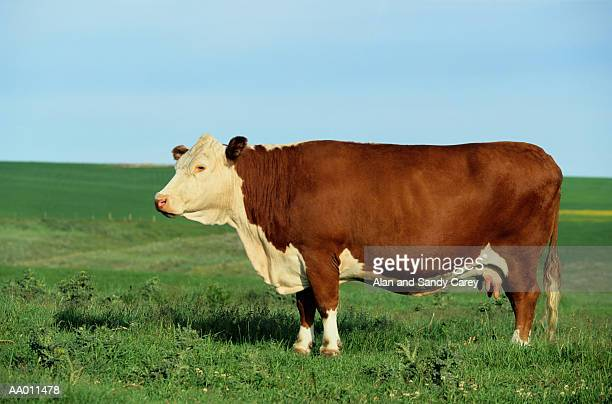 Hereford cow standing in field
