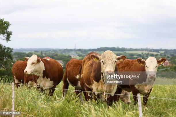 Hereford cows graze on a cattle farm in Rettendon, U.K., on Tuesday, June 22, 2021. The new U.K. And Australia free-trade agreement will reduce...