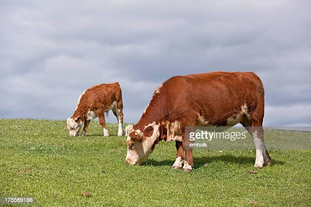 Hereford Cows Grazing on Hill