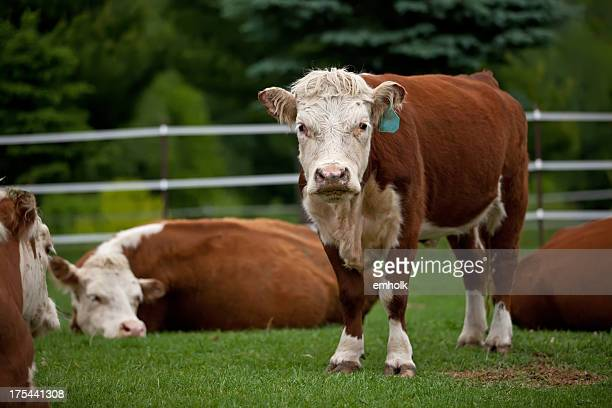 Hereford Cows In Green Pasture