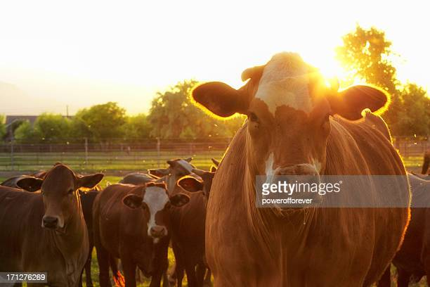 hereford cows in pasture at sunset - livestock stock pictures, royalty-free photos & images