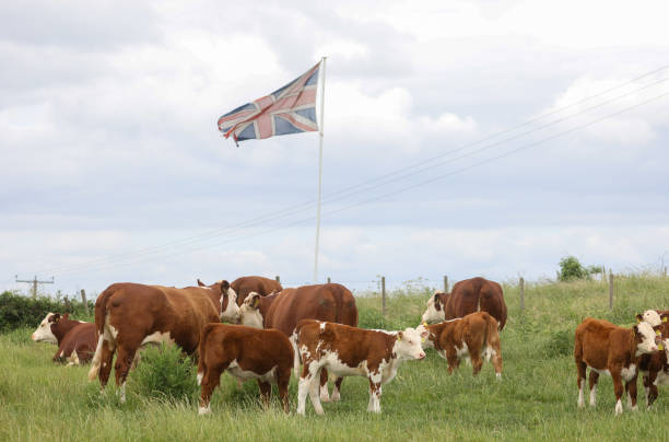 GBR: U.K. Cattle Farming as Australia Trade Deal Sparks Anger