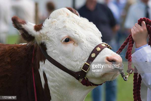 herefordshire bull - livestock show stock pictures, royalty-free photos & images