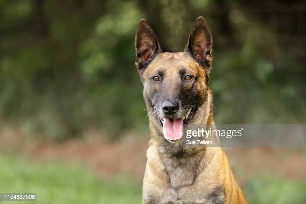 here's looking at you belgian malinois - berger belge malinois photos et images de collection