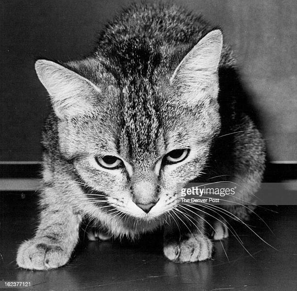 MAY 2 1981 Here's one spider that's cute Spider is a 1yearold spayed shorthaired tabby cat She has had her vaccinations is litterbox trained and...