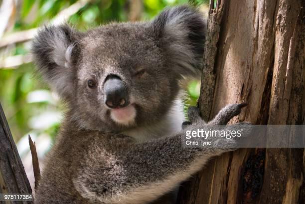 here's winking at you kid - coala imagens e fotografias de stock