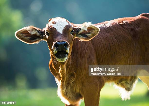 herford calf bawls for its mother - emery stock photos and pictures