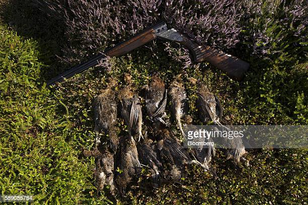 A Heritage 20 bore shotgun manufactured by Browning Arms Co lies on the ground by shot grouse during a walked up grouse shoot on Egton High Moor in...