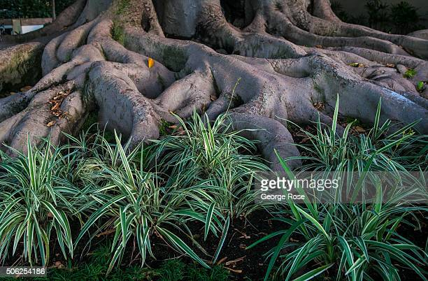 A heritage Moreton Bay fig tree at the Fairmont Miramar Hotel Bungalows is viewed on December 23 2015 in Santa Monica California Millions of tourists...