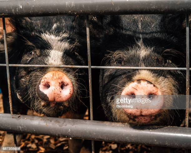 Heritage pigs stand in a pen at the Stone Barns farm in Pocantico Hills New York US on Friday April 21 2017 As customers are increasingly demanding...