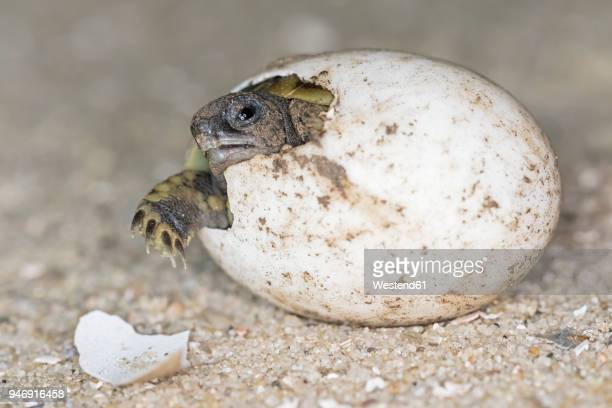 hermann's tortoise, testudo hermanni, hatching - hatching stock photos and pictures