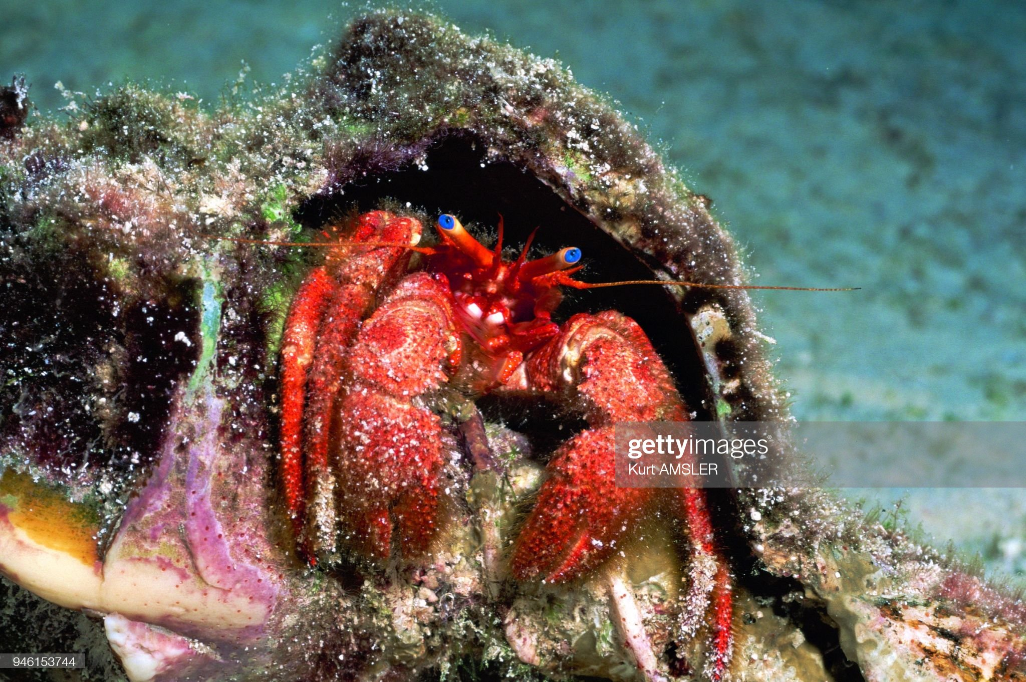 Hermit crab asia (Paquroidea) : News Photo