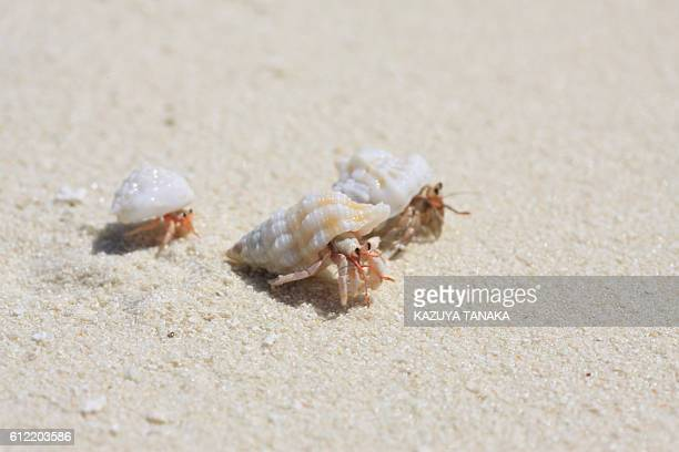Hermit crab family at the beach, Maldive Islands