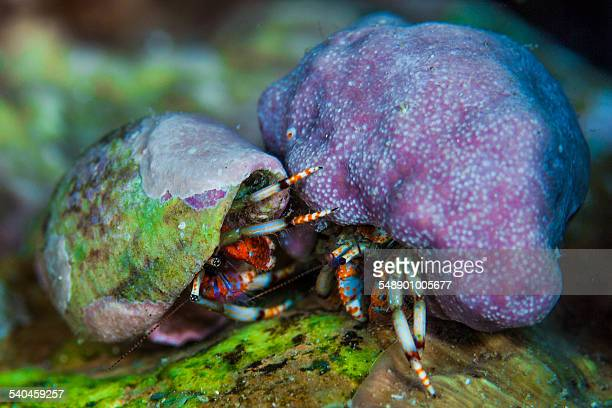 Hermit crab fight