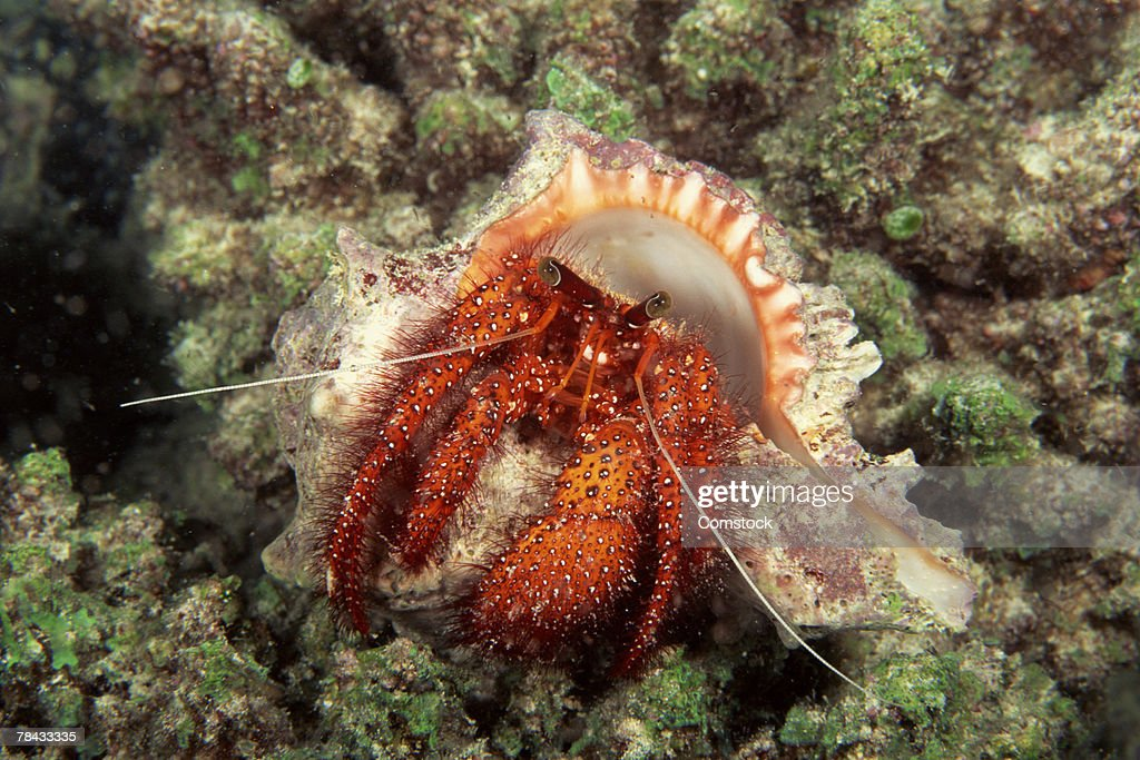 Hermit crab foraging for food : Stockfoto