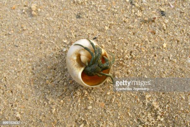 hermit crab in a seashell, koh yai noi island, phang nga, thailand - argenberg stock pictures, royalty-free photos & images