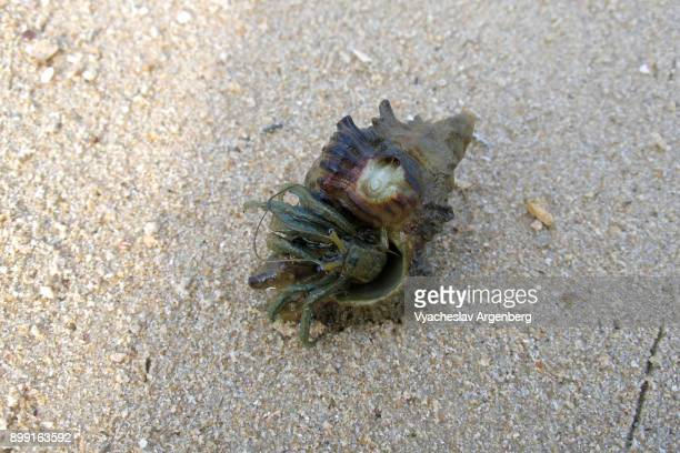hermit crab in a seashell, koh yai noi, phang nga, thailand - argenberg stock pictures, royalty-free photos & images