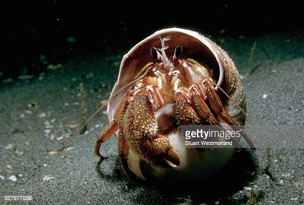 Hermit Crab in Moon Shell