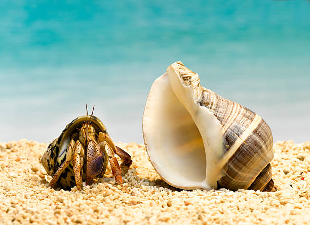Hermit Crab Looking At Larger Shell Wall Art