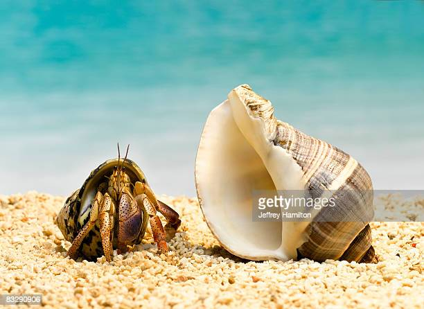 hermit crab looking at larger shell - crab stock photos and pictures