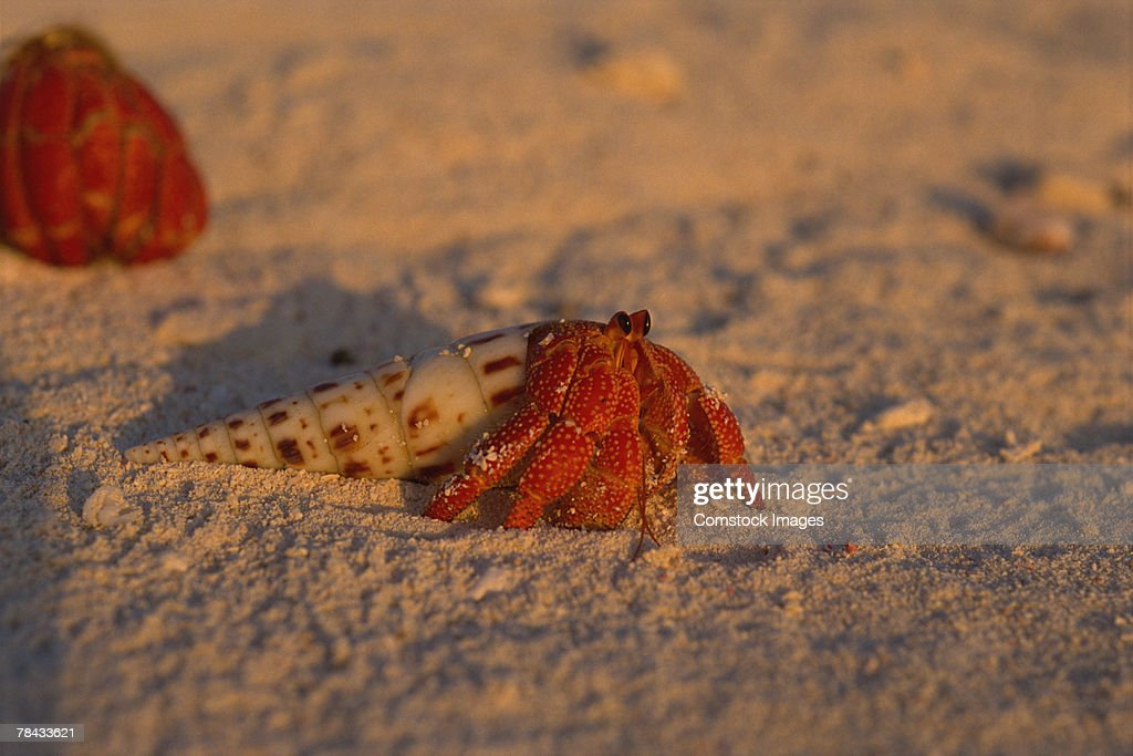 Hermit crab on beach : Stockfoto