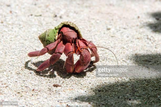 Hermit Crab on Kayangel Atoll, Palau
