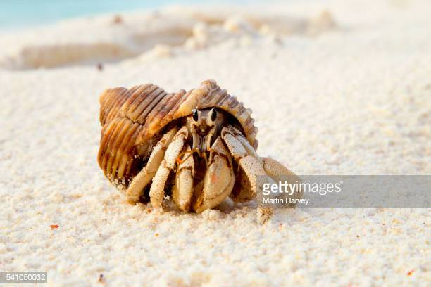 hermit crab (anomura spp) on the sea shore.cousine island.seychelles - hermit crab stock pictures, royalty-free photos & images