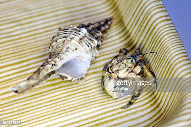 hermit crab or coconut crab, left shell in a plastic tray - coconut crab stock pictures, royalty-free photos & images