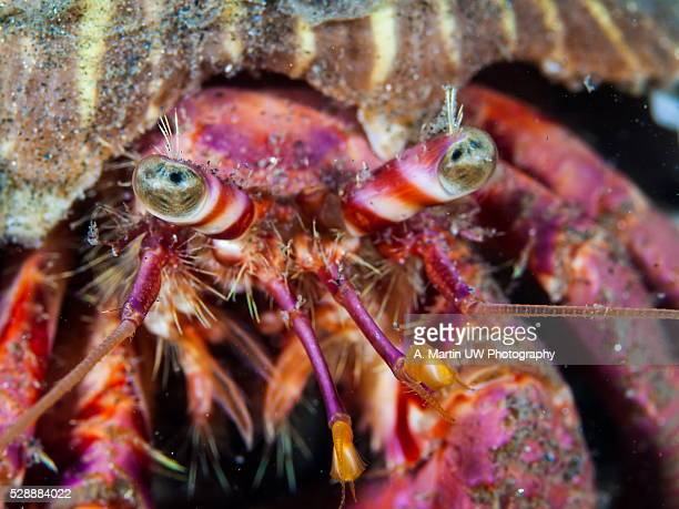Hermit crab (Dardanus calidus)