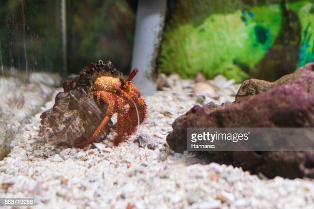 hermit crab - hermit crab stock pictures, royalty-free photos & images
