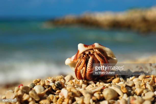 hermit crab (paguroidea), runaway bay, jamaica - hermit crab stock pictures, royalty-free photos & images