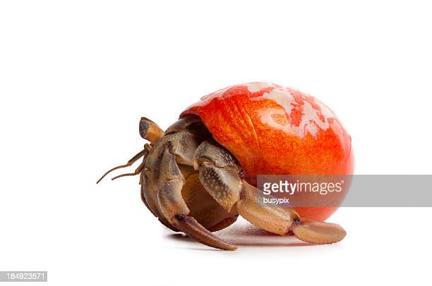 hermit crab with orange shell - hermit crab stock pictures, royalty-free photos & images