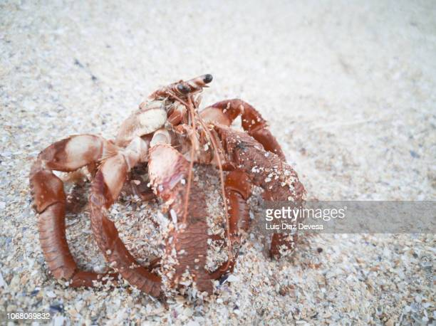 hermit crab without shell - hermit crab stock pictures, royalty-free photos & images