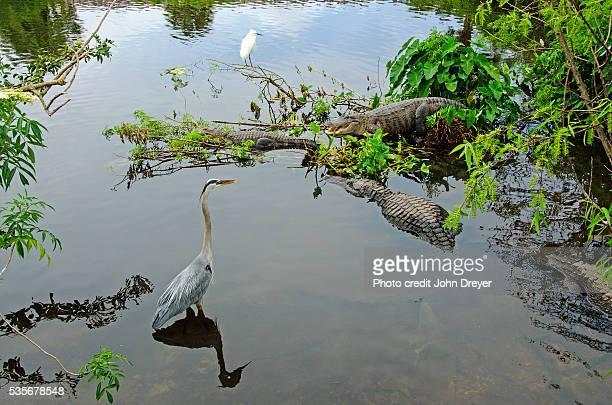 Heron and Egret Keep Wary Eyes on American Alligators