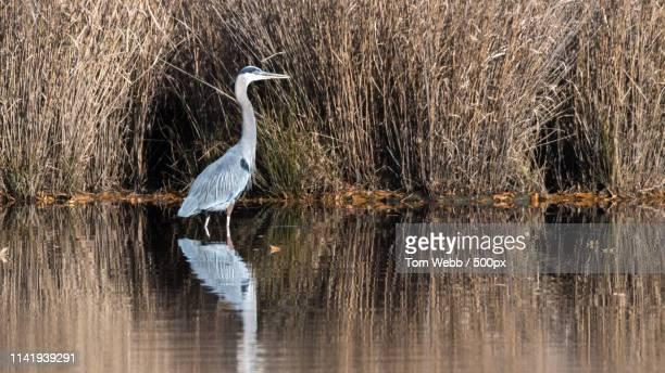 heron and reflection - 浅い ストックフォトと画像