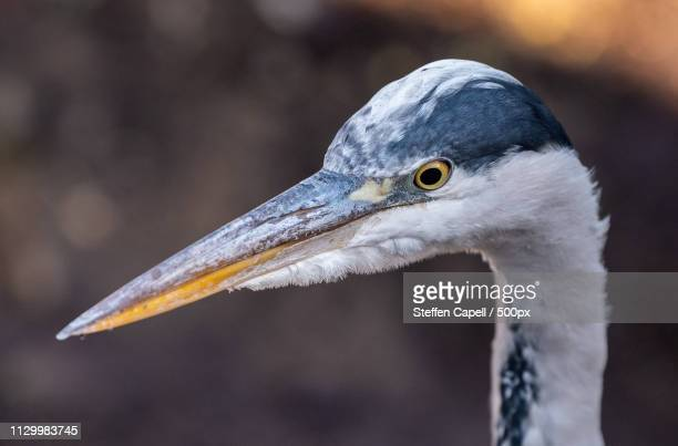 heron closeup - oresund region stock photos and pictures