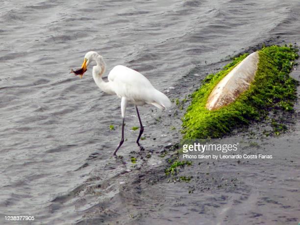 heron eating a snack - leonardo costa farias stock pictures, royalty-free photos & images