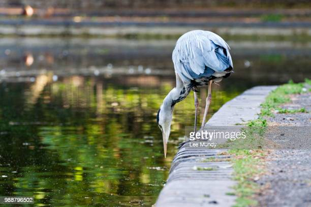 heron fishing at battersea park. - battersea park stock photos and pictures