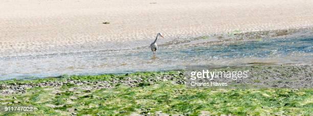 Heron fishing in the River Soch near Abersoch:Wales Coast Path on the Lleyn peninsula