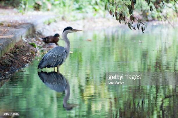 heron in lake at battersea park. - battersea park stock photos and pictures