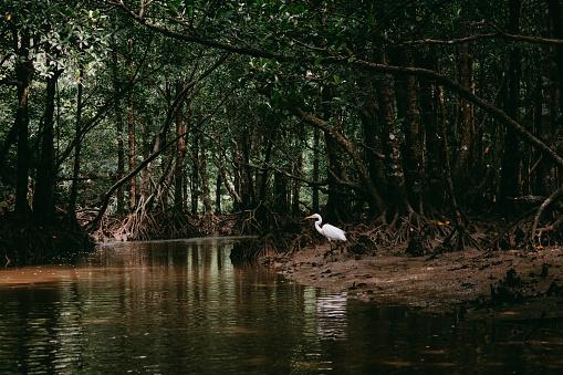 Heron in mangrove forest, Iriomote Island, Okinawa, Japan - gettyimageskorea