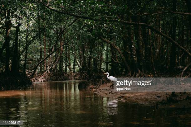 heron in mangrove forest, iriomote island, okinawa, japan - mangrove tree stock pictures, royalty-free photos & images